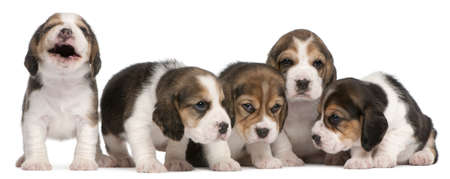Group of Beagle puppies, 4 weeks old, sitting in a row in front of white background photo