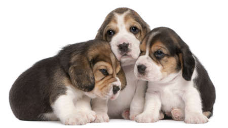 beagle puppy: Group of Beagle puppies, 4 weeks old, in front of white background Stock Photo