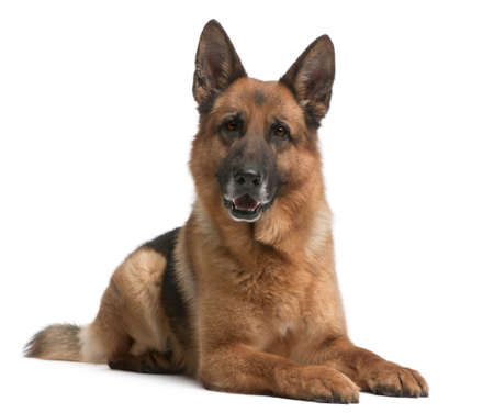 German Shepherd, 5 years old, in front of white background Stock Photo - 8972428