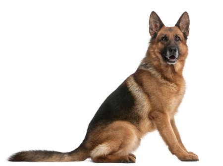 tail: German Shepherd, 5 years old, in front of white background