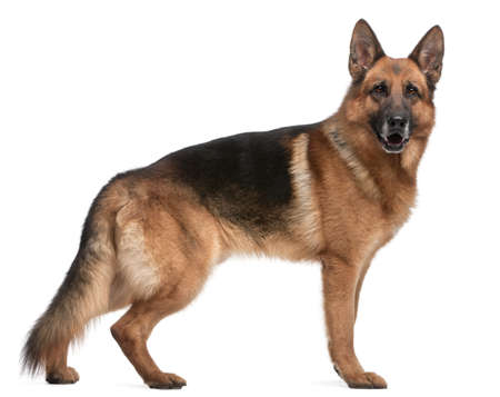 German Shepherd, 5 years old, in front of white background