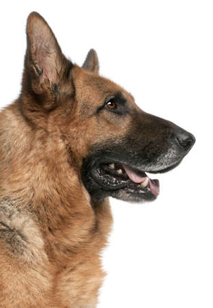 German Shepherd, 5 years old, in front of white background photo