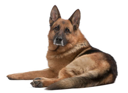lying on side: German Shepherd, 5 years old, in front of white background
