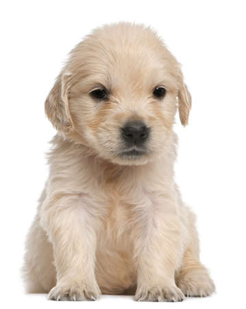 Golden Retriever puppy, 4 weeks old, sitting in front of white background photo