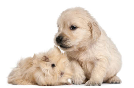 Golden Retriever puppy, 4 weeks old, and young Peruvian guinea pig, 2 months old, in front of white background photo