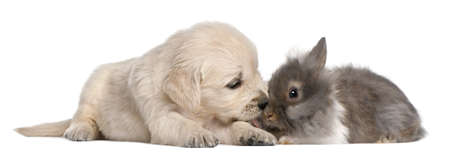Golden Retriever puppy, 4 weeks old, and a rabbit in front of white background Stock Photo - 8972086
