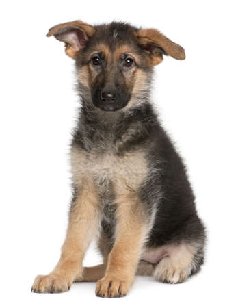 German Shepherd puppy, 4 months old, sitting in front of white background Stock Photo - 8972640