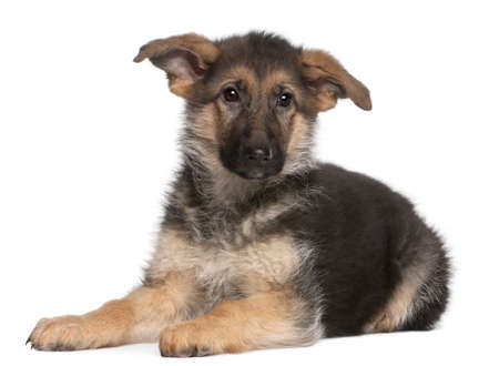 German Shepherd puppy, 4 months old, lying in front of white background Stock Photo - 8972478