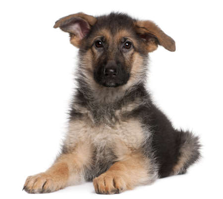 German Shepherd puppy, 4 months old, lying in front of white background Stock Photo - 8972932