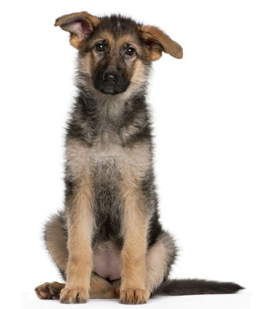 German Shepherd puppy, 4 months old, sitting in front of white background photo