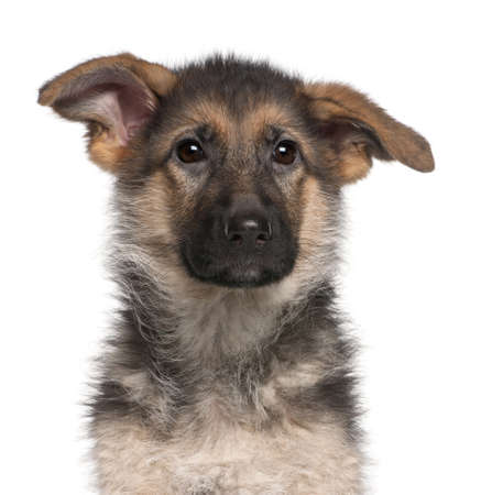 Close-up of German Shepherd puppy, 4 months old, in front of white background Stock Photo - 8973130