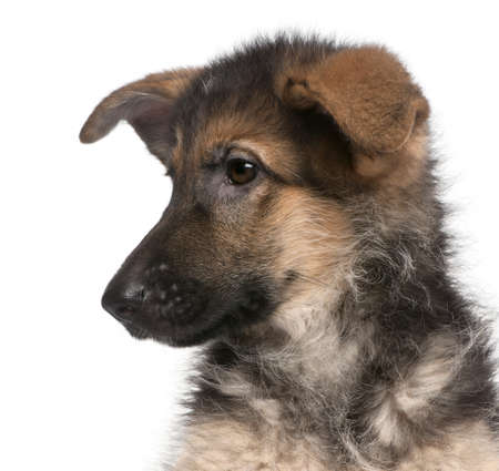 german shepherd puppy: Close-up of German Shepherd puppy, 4 months old, in front of white background Stock Photo