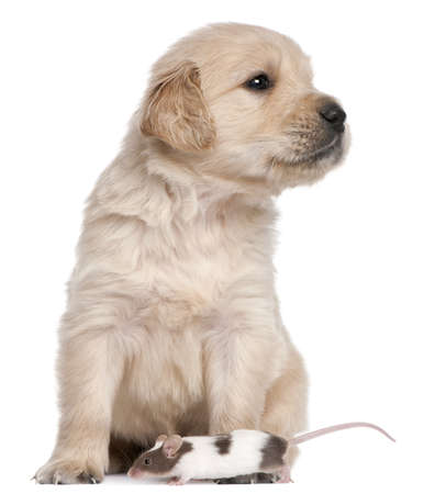 Golden Retriever puppy, 4 weeks old, and a mouse in front of white background photo