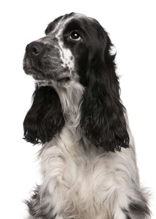 English Cocker Spaniel, 2 years old, in front of white background photo