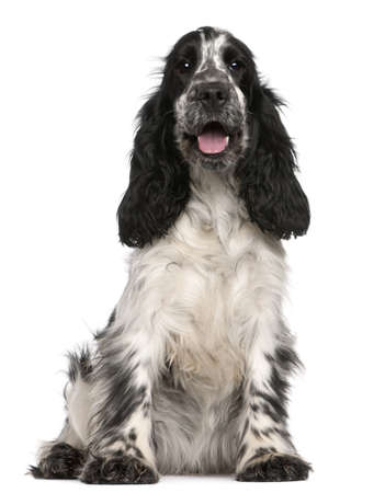 cocker spaniel: English Cocker Spaniel, 2 years old, sitting in front of white background
