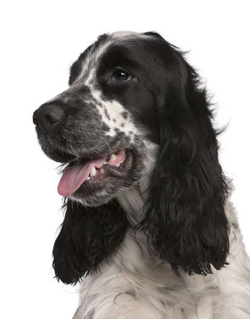English Cocker Spaniel, 2 years old, in front of white background Stock Photo - 8972587
