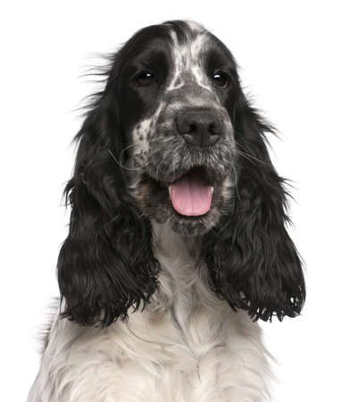 English Cocker Spaniel, 2 years old, in front of white background Stock Photo - 8973034