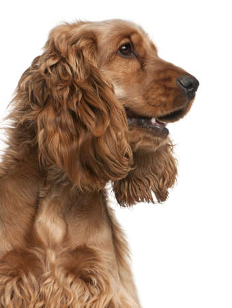 English Cocker Spaniel, 2 years old, in front of white background Stock Photo - 8973137