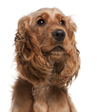 English Cocker Spaniel, 2 years old, in front of white background Stock Photo - 8973006