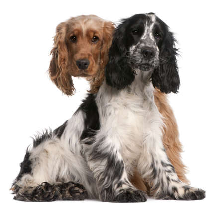 cocker spaniel: Two English Cocker Spaniels, 2 years old, in front of white background