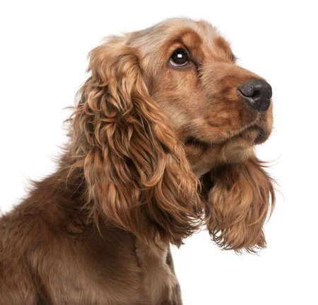 English Cocker Spaniel, 2 years old, in front of white background Stock Photo - 8973018