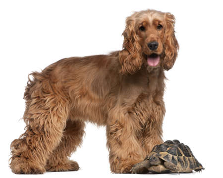 English Cocker Spaniel, 2 years old, and a Hermanns tortoise, Testudo hermanni, in front of white background Stock Photo