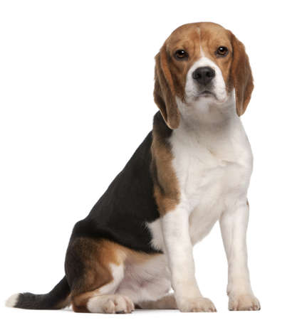 1 year old: Beagle, 1 year old, sitting in front of white background