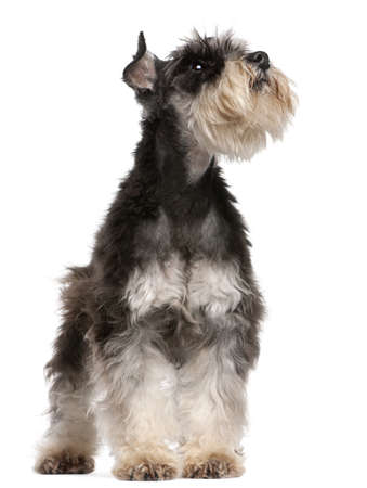 Miniature Schnauzer, 6 years old, looking up in front of white background photo