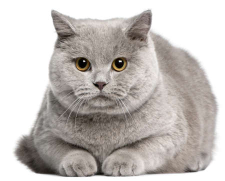British Shorthair cat, 8 months old, in front of white background Stock Photo