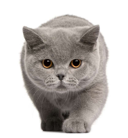 British Shorthair kitten, 4 months old, in front of white background Stock Photo - 8972042