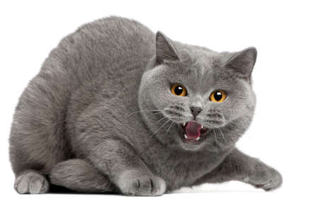 British Shorthair kitten hissing, 2 years old, in front of white background photo