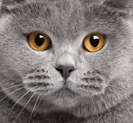 attentive: Close-up of British Shorthair cat, 2 years old Stock Photo