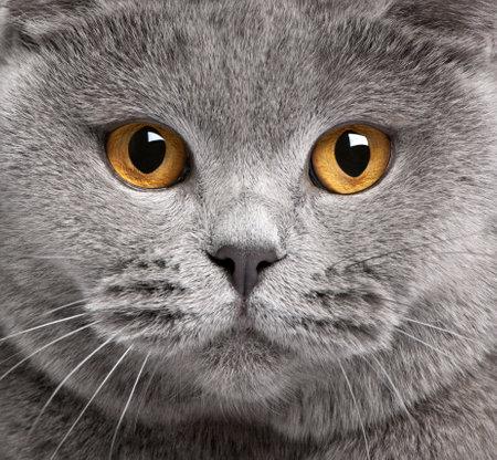 Primer plano de gato British Shorthair, 2 años