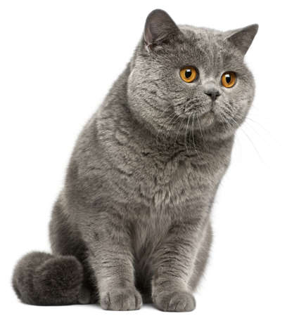 British Shorthair cat, 2 years old, in front of white background photo