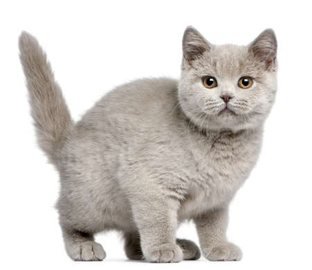 cat tail: British Shorthair kitten, 3 months old, in front of white background