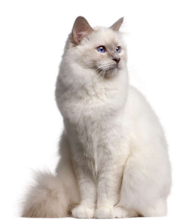 birman kitten: Birman cat, 9 months old, in front of white background Stock Photo