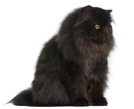 Persian cat, 9 months old, in front of white background photo