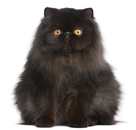 black and white image: Persian cat, 9 months old, in front of white background