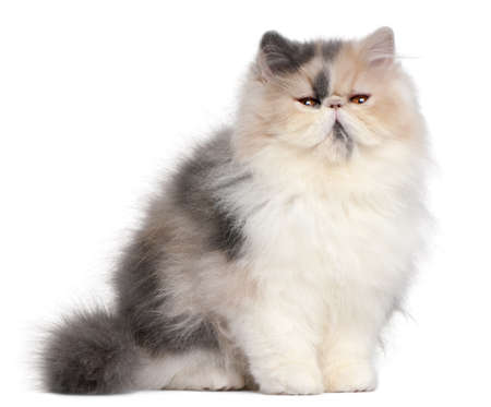 Persian kitten, 6 months old, in front of white background photo