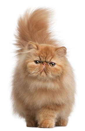 cat walk: Persian kitten, 6 months old, in front of white background