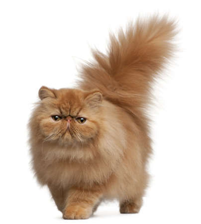 persian cat: Persian kitten, 6 months old, in front of white background