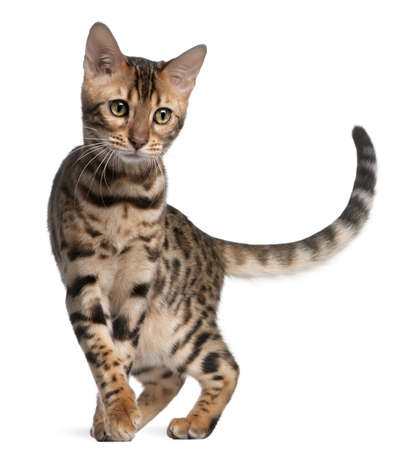 cat walk: Bengal kitten, 5 months old, in front of white background