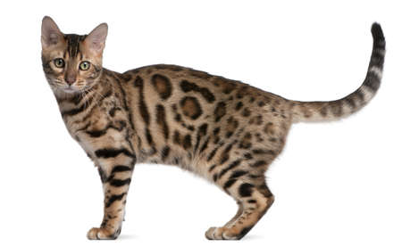 isolated spot: Bengal kitten, 5 months old, in front of white background