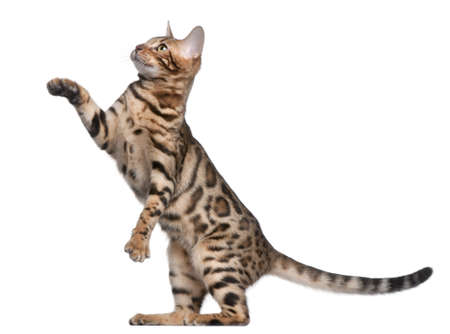 breeds: Bengal kitten, 5 months old, in front of white background