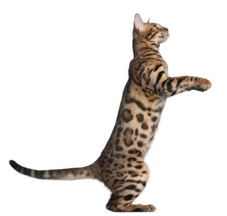 bengal cat: Bengal kitten, 5 months old, in front of white background