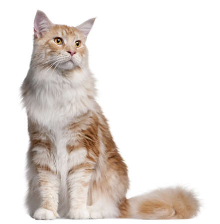 maine cat: Maine Coon cat, 14 months old, in front of white background