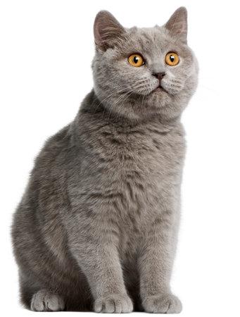British Shorthair kitten, 5 months old, in front of white background photo