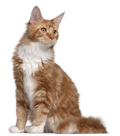 Maine Coon kitten, 7 months old, in front of white background photo
