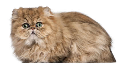 Persian kitten, 9 months old, in front of white background photo