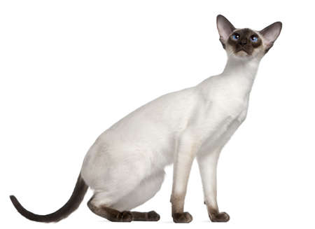 siamese cat: Siamese kitten, 7 months old, in front of white background